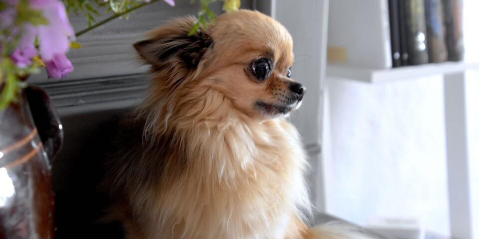 Hunden Fille hälsar sina artfränder mycket välkomna till Rikstolvans krog.