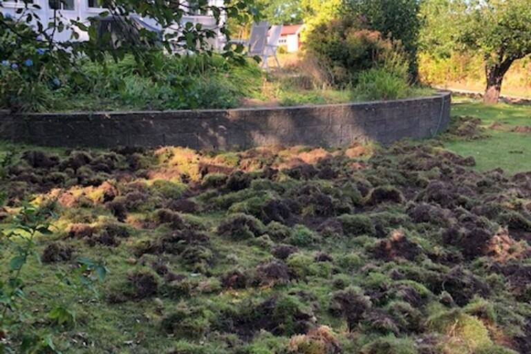 Vildsvin totalförstörde familjens trädgård