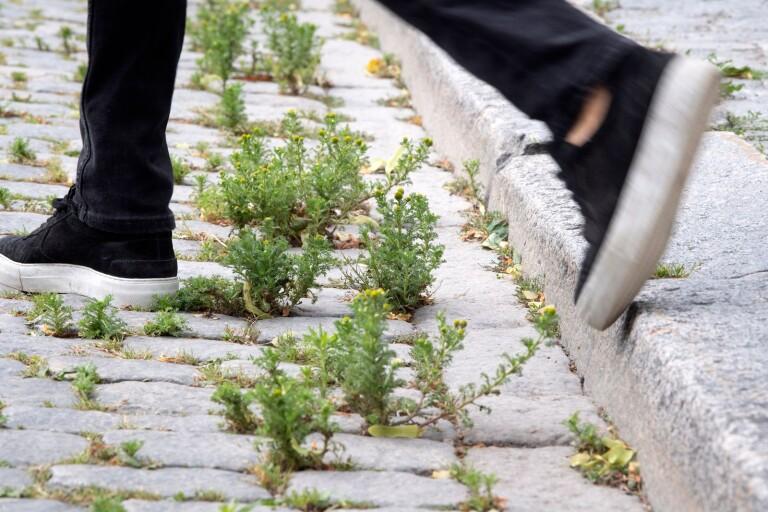Ogräs breder ut sig i Trelleborg – nu tar kommunen hjälp av ättika