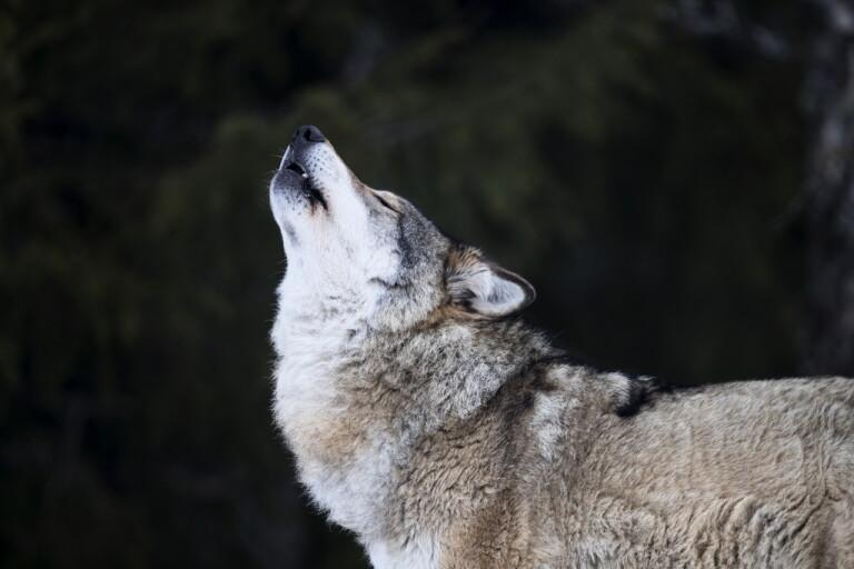 Hundens dvärgbandmask påvisad hos varg