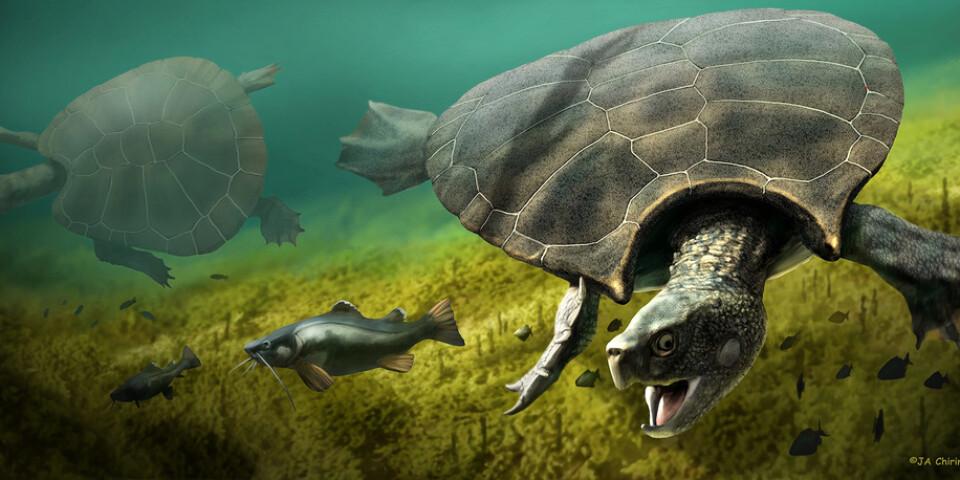 Stupendemys geographicus levde för mellan fem och tio miljoner år sedan i dagens Sydamerika. Den vägde 1 145 kg och dess skal blev närmare tre meter långt. Längst fram på ryggskölden vid huvudet hade hannarna två hornliknande utväxter.