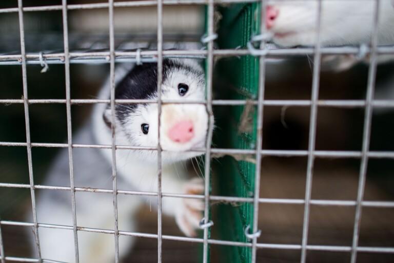 120 veterinärer och akademiker uppmanar svenska politiker att förbjuda minkuppfödning i bur.