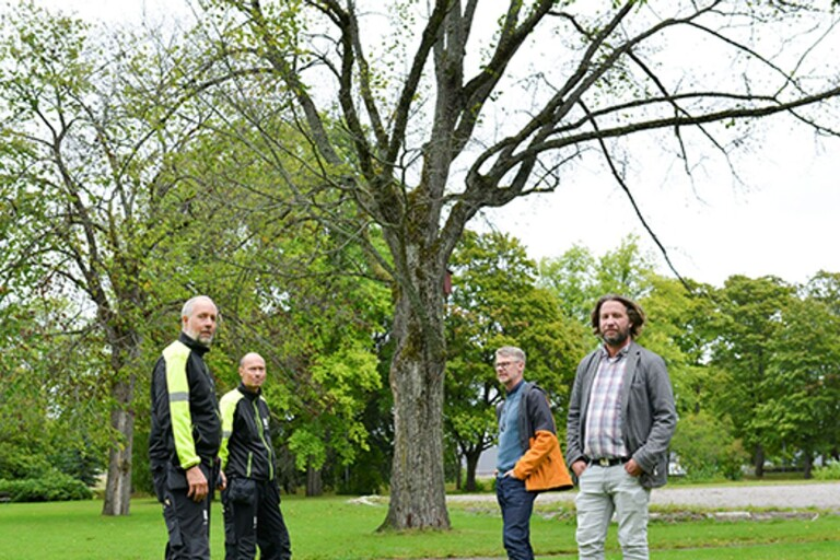 Almsjuka i Växjö – gamla träd måste fällas