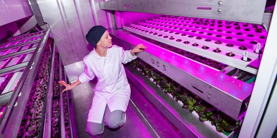 Trädgårdsingenjör Sara Sigurdson från Bonbio skördar den första omgången sallad odlad i containern utanför IKEA i Malmö.Näringen till den hydroponiska odlingen kommer från matavfall, bland annat från bolagets egna restauranger och är en del av Ikeas arbete med att senast 2030 vara klimatpositiva.