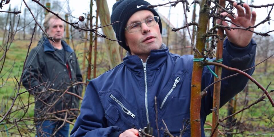 Johan Nilsson och Calle Andersson, i bakgrunden, fick fruktodlarföreningens pris 2018. Spaljéodlingen har underlättat för duon, men träden kräver fortfarande skötsel i princip året runt.