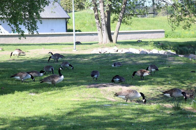 Kanadagässen har snabbt blivit ett problem vid barnen nya lekpark på Maden i Virserum, berättar ÖSK:s Linus Karlsson.