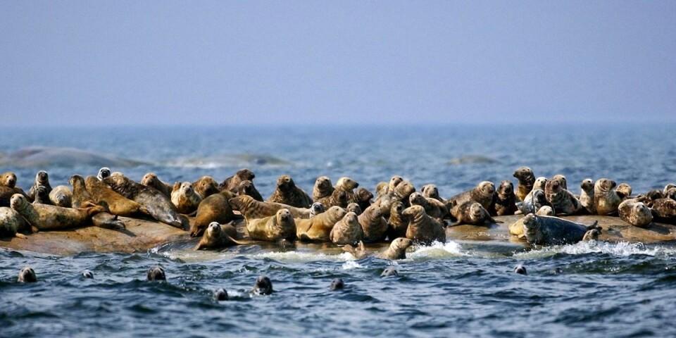 Gråsälarna bidrar till att den biologiska mångfalden i Östersjön minskar.