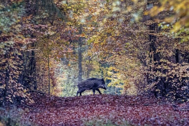Fler vargar löser inte problem med vildsvin
