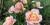 """Öppen trädgård: Mängder av rosor och tulpaner – """"Målet är 200 sorter"""""""