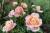 När Carina Adolfsson Elgestam flyttade till ett äldre hus för tre år sedan påbörjade hon arbetet med att anlägga en rosenträdgård. Nu är hon en bra bit på väg mot sitt mål; 200 olika sorters rosor. På bilden ses en Kalmarros.