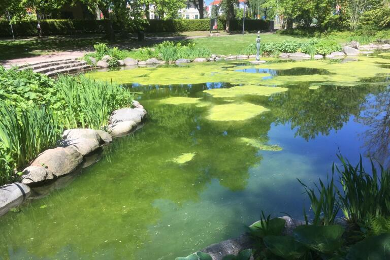 Dammen i stadsparken är täckt av alger från bottnen och upp till ytan.