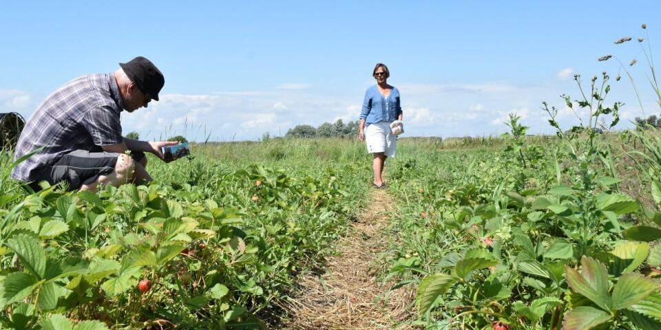 """Besökarna Agneta och Christer Holmberg har redan besökt odlingen fyra gånger i år. De är inte bekymrade över en eventuell jordgubbsbrist på midsommar. """"Om det är så har vi nog fått vår beskärda del redan""""."""