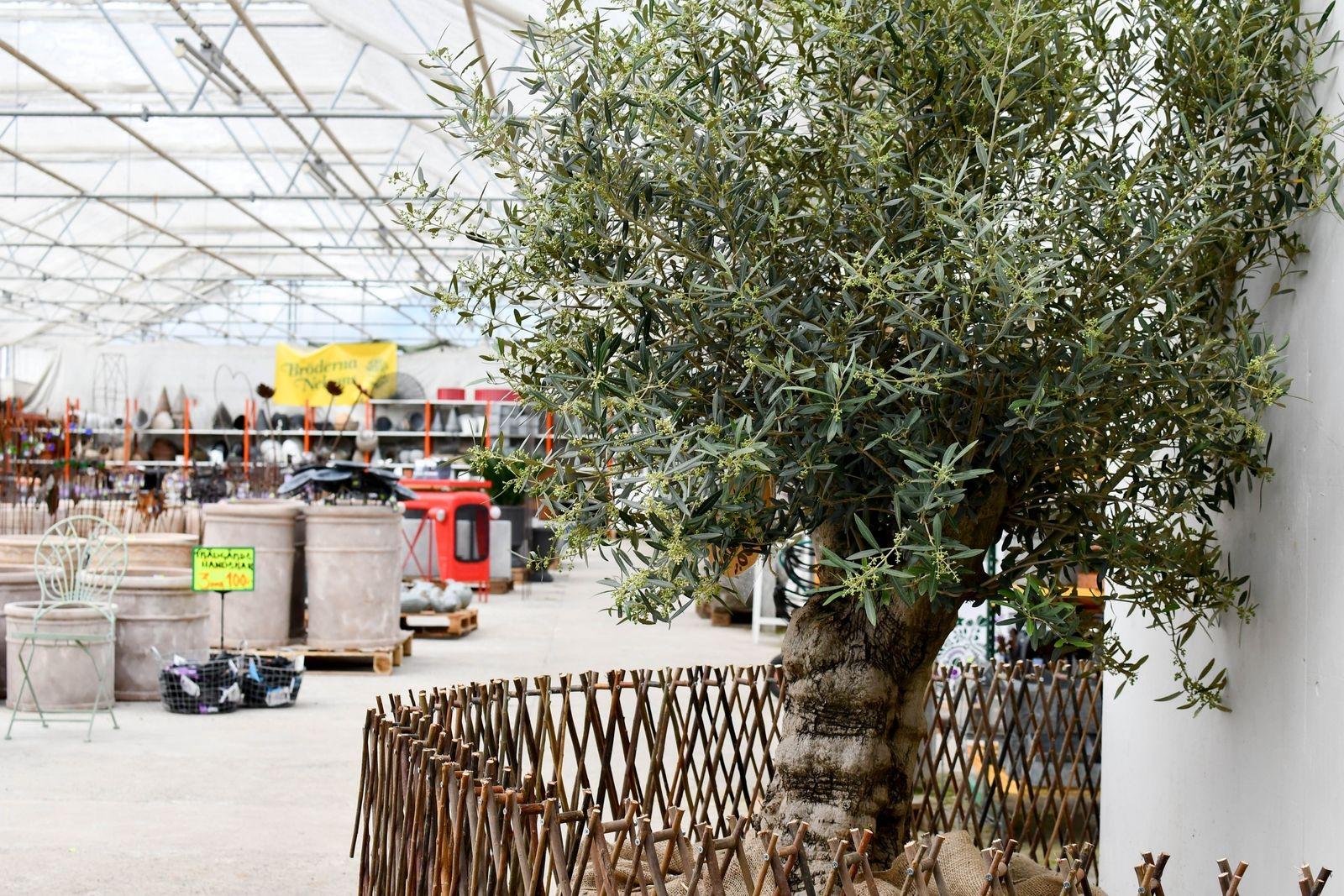 Det går mycket trender i branschen, men en trend som håller i sig är suget efter medelhavsväxter. Just nu finns ett 200 år gammalt olivträd till salu i handelsträdgården.