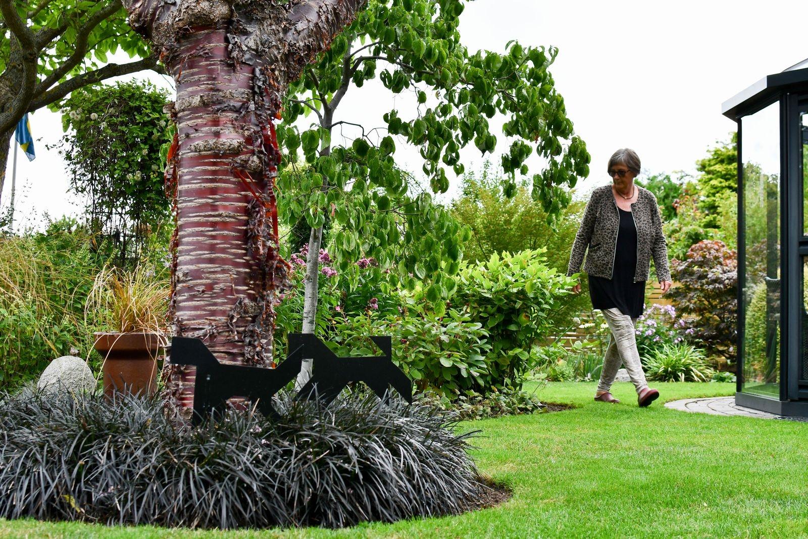 Glanskörsbärsträdet med sin vackra stam utgör trädgårdens medelpunkt. Effektfullt inramat av mörkt ormskägg.