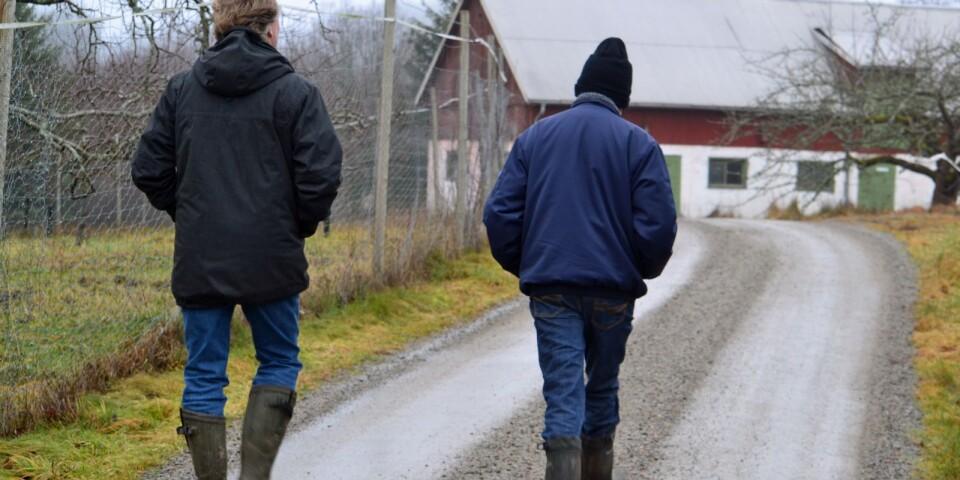 På spaning i äppelriket. Grannarna Calle och Johan traskar på och tackar varandra för tips och nytänk.