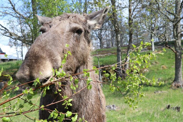 Här kommer turister nära älgarna – hoppas på fler svenska besökare