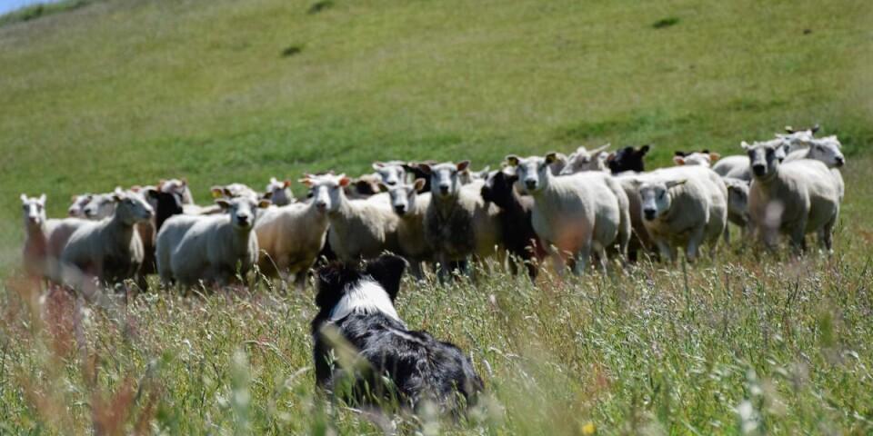 En vallhund motsvarar tolv människor när det kommer till fårvallning. – Människor är långsamma och har inte alls samma kontakt med fåren som en hund, berättar Ingela.