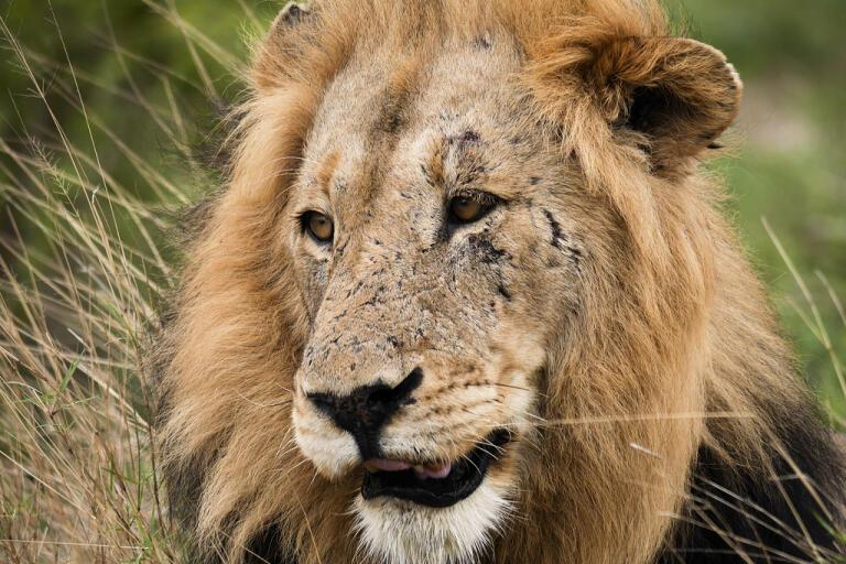 Två lejon var inblandade i attacken. Arkivbild – lejonet på bilden var inte inblandad i händelsen.
