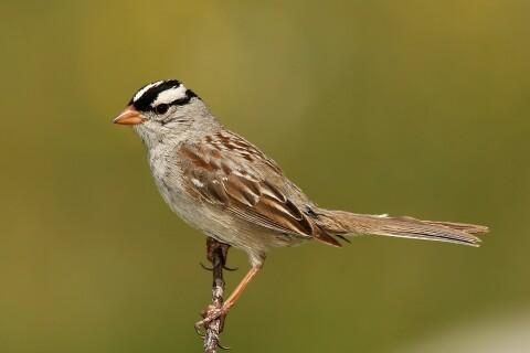 Fågelsång återfår klangen under lockdown