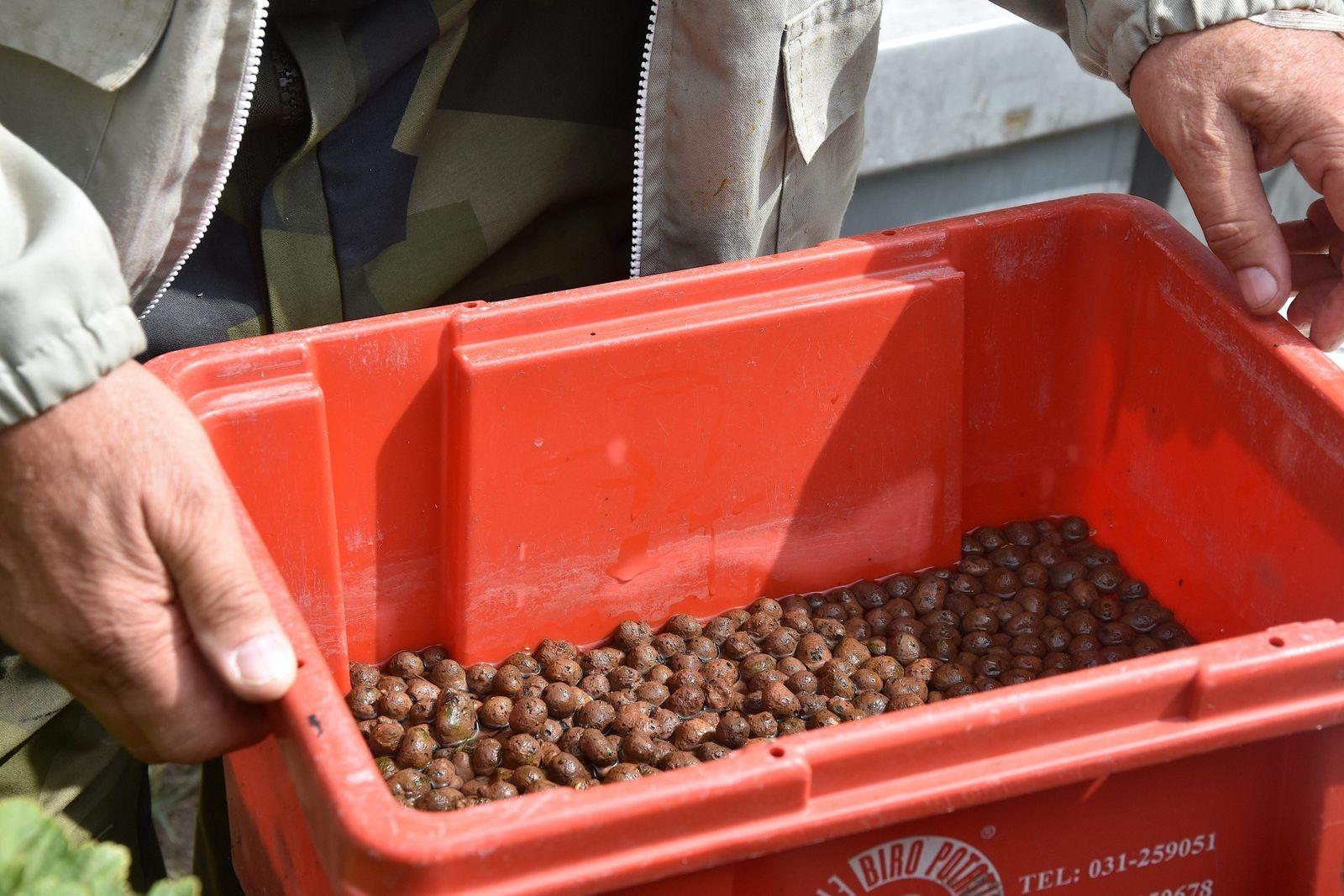 Bina sätter sig på lecakulorna i vattnet i den röda plastlådan och kan därmed dricka. Under den varma sommaren gick det åt en låda om dagen, det vill säga omkring tio liter varje dag.