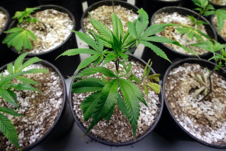 Brott: 25-åring odlade cannabis i hemmet