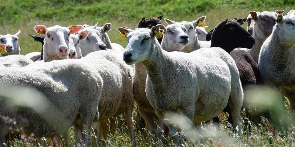 När fåren ska samlas in ger Ingela hundarna kommandon som vänster, höger, fram, stanna och ligg.