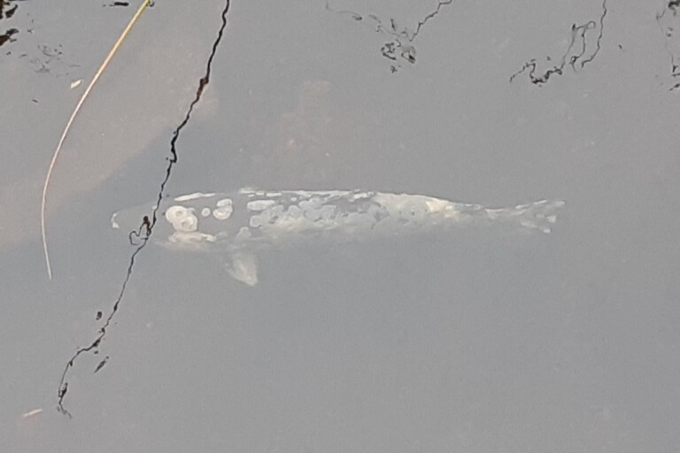 """Svampangripna fiskar i Emån väcker oro: """"Det är sorgligt att se"""""""