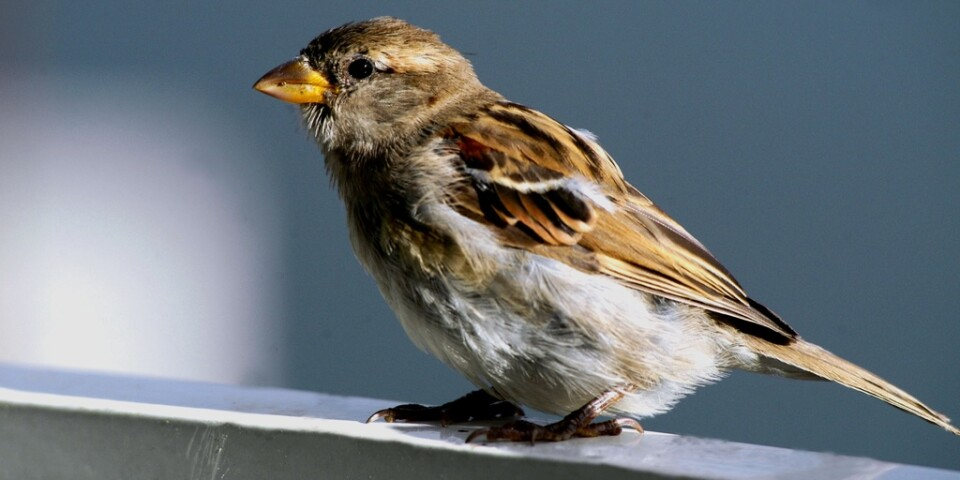 Gråsparven kan bli hemlös om gamla hus renoveras eller ersätts med nya som saknar lämpliga skrymslen för fågelbon. Arkivbild
