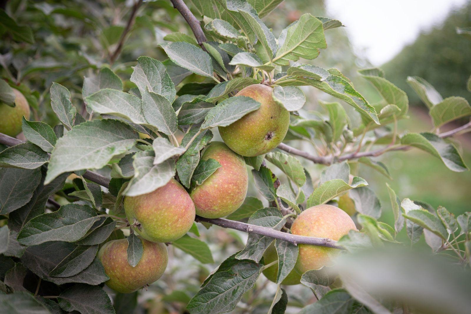 Klassiska Ingrid Marie är en av slottets fem äppelsorter.