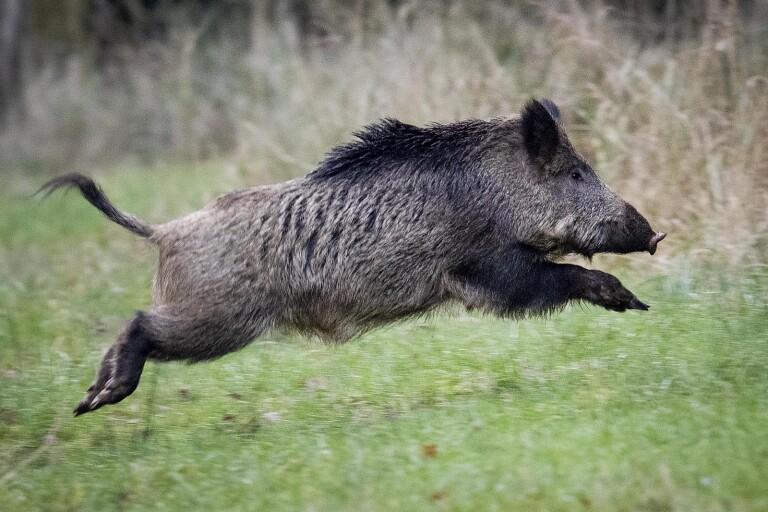 Ovanlig salmonella hos skånska vildsvin oroar