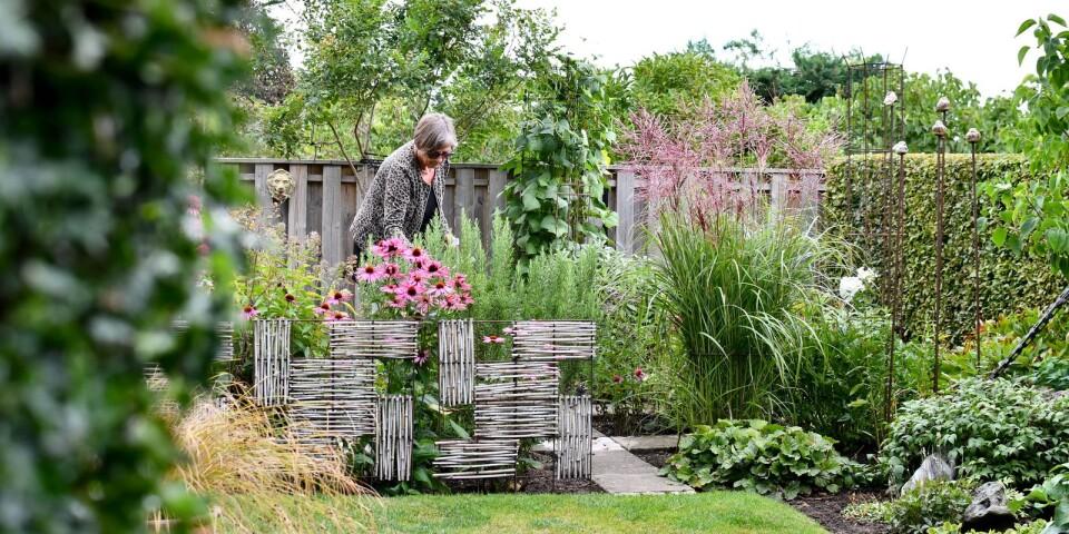 Det är svårt att föreställa sig att trädgården bara bestod av en lerig backe när Inger och Tommy Olsson flyttade till huset i Simrislund 1972. Idag är det en oas fylld av rariteter som lockat otaliga busslaster med trädgårdsintresserade. I våras skulle tre bussar med medlemmar i Sällskapet Trädgårdsamatörerna kommit på besök, men det satte covid-19 stopp för.