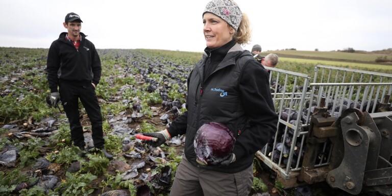 Karin och Thomas Mårtensson odlar rödkål för andra året. Kålhuvudena skördas för hand, läggs i korgar, tvättas och packas i backar innan de går till grossisten.