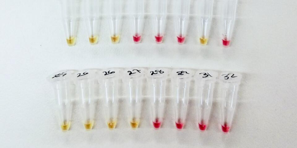 Efter cirka 30 minuter i 65 grader ändras färgen från rosa till gult om det finns virusgener i provet. Hittills har testerna gjorts med syntetiska virusgener i laboratoriemiljö. Nästa steg är att testa om metoden ger rätt svar på riktiga prover från människor.