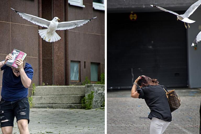 BILDEXTRA: Här anfaller måsarna – mitt i Borås