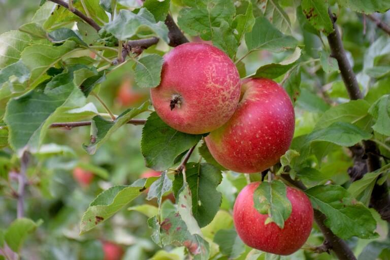 Från kust till äppelmust