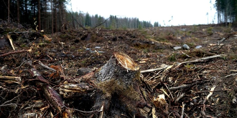 Kommunens skog höggs ner – husägare ville få sjöutsikt