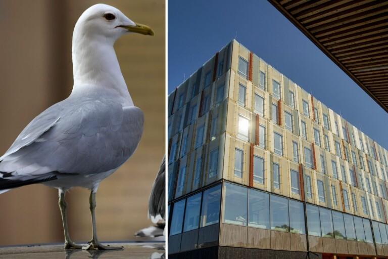Växjö: Fågelskit på nya kommunhuset – måste saneras för 200 000