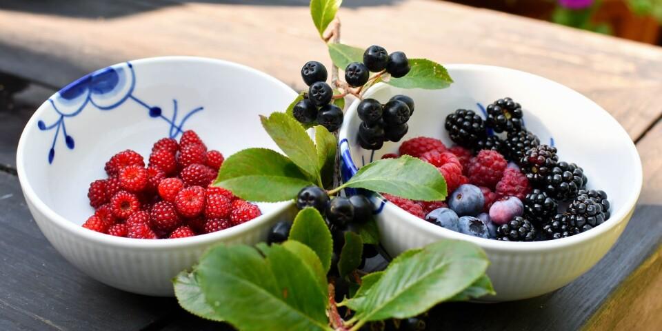 Japanska vinhallon, hösthallon, amerikanska blåbär, björnbär och aroniabär är bara några av de bär som växer i Jettes have.
