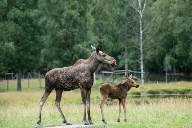 Älgstammen i Mörbylånga kommun ser ut att bli mindre och mindre, enligt jägarna.