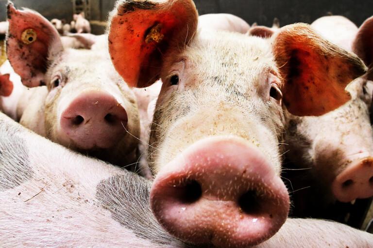 Nära 5|000 grisar har avlivats på grund av att salmonella upptäckts på flera skånska gårdar. Arkivbild.