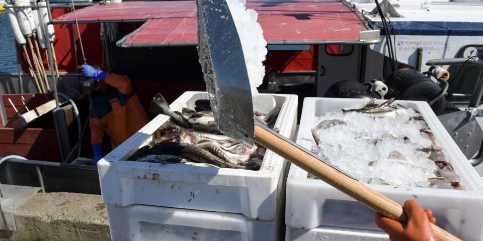 Torsk lossas från en fiskebåt i hamnen i Skillinge.