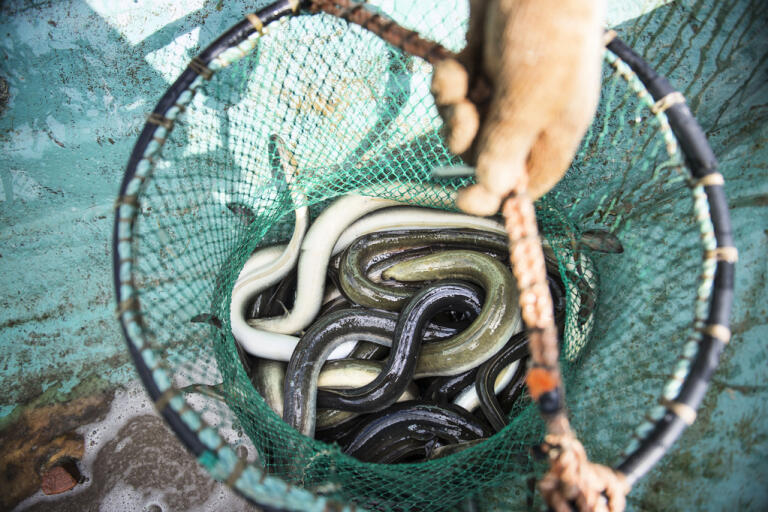 Endast licensierade ålfiskare får ta upp ål. Men i år har många olagliga ålfiskeredskap tagits i beslag. Arkivbild.