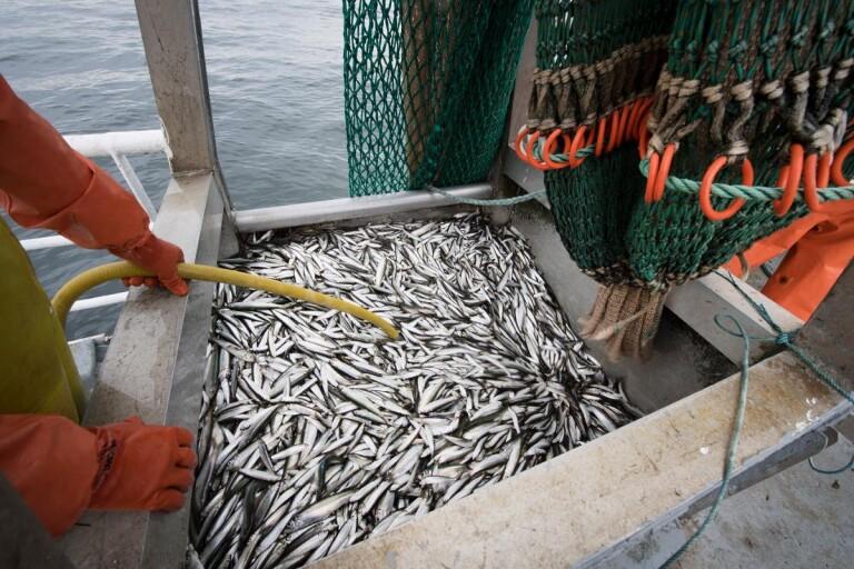 Glädjebeskedet – Sillfiskarna får chans att överleva