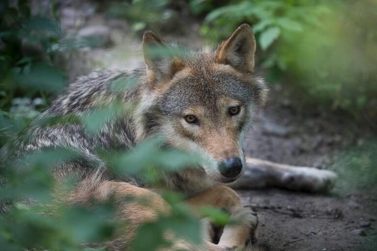 الموافقة على قتل الذئب الموجود خارج Osby