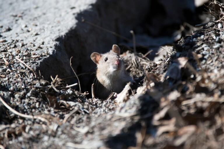 Här dyker råttorna upp