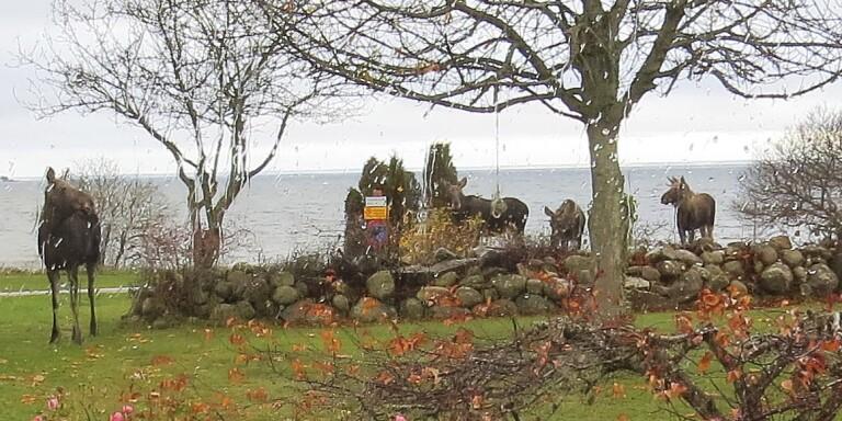 Magnus Boman blev förvånad när han såg fyra älgar utanför sitt hus i Klinta.