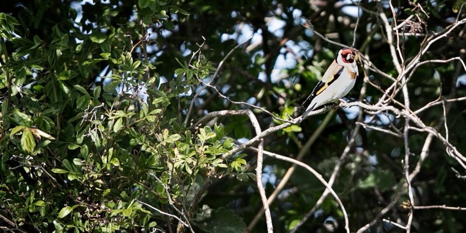 En steglits med sitt röda ansikte sitter lugnt i det skyddande buskaget.