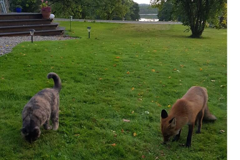 Räven Åke och katten Diesel är kompisar – se filmklippet på den tama räven