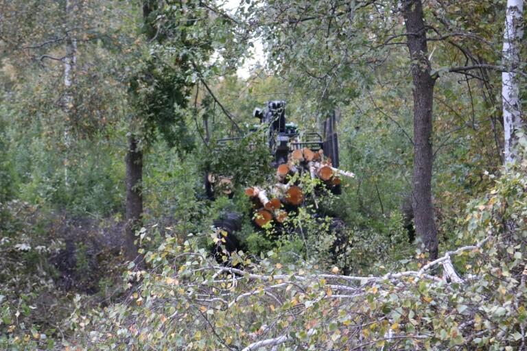 Stora skördare gallrar träd i motionsslinga