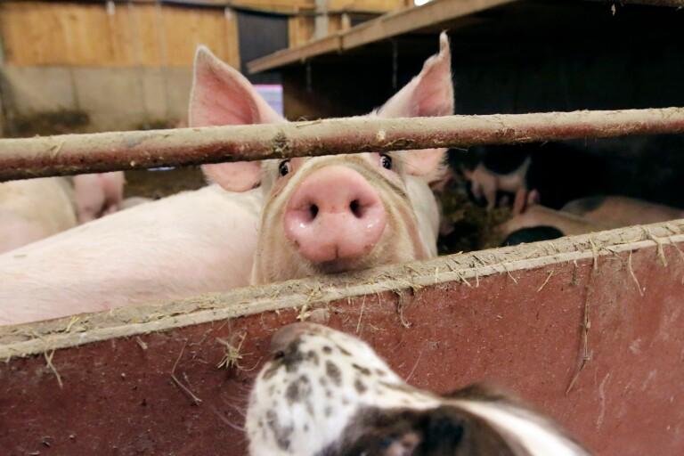 Det går oftast inte att upptäcka om grisar har smittats av salmonella. I en rutinkontroll upptäcktes smitta på en gård utanför Sjöbo. Grisen på bilden har inget med smittan att göra.